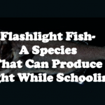 Flashlight Fish- A Species That Can Produce Light While Schooling